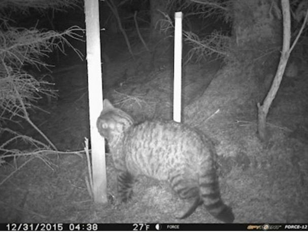 A wildcat filmed by the motion sensitive camera
