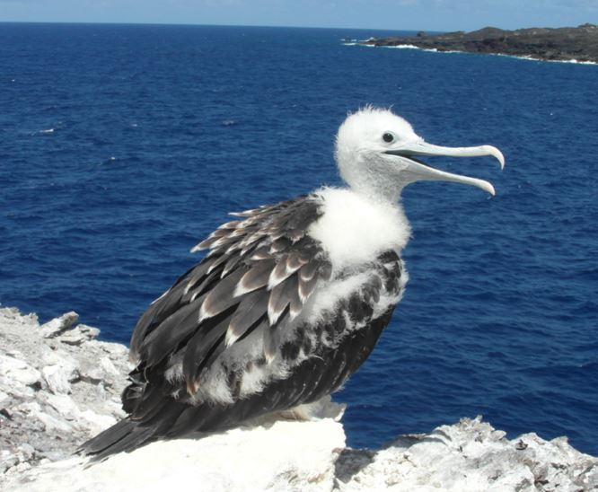 Baby Ascension Frigatebird