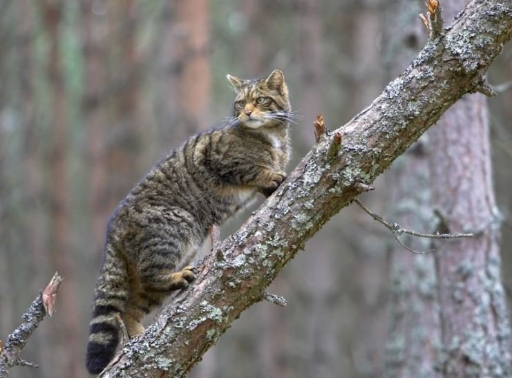 Beautiful scottish wildcat
