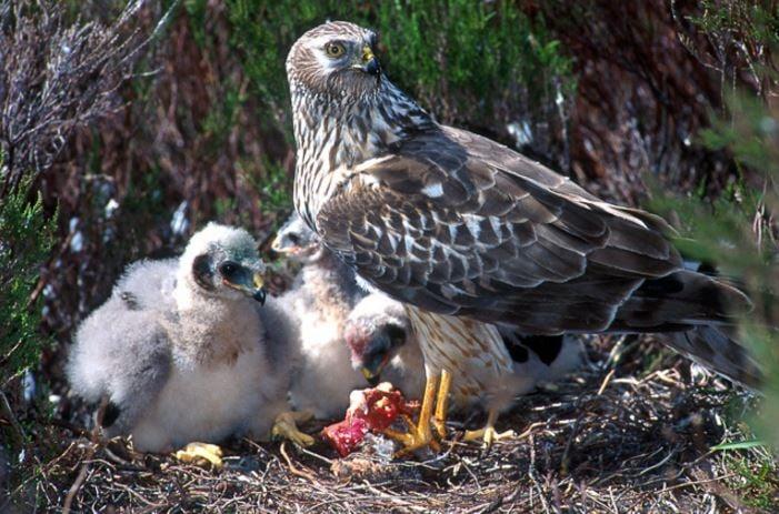 Hen Harrier Nest
