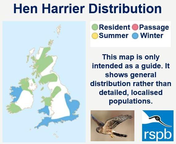 Hen harrier distribution UK