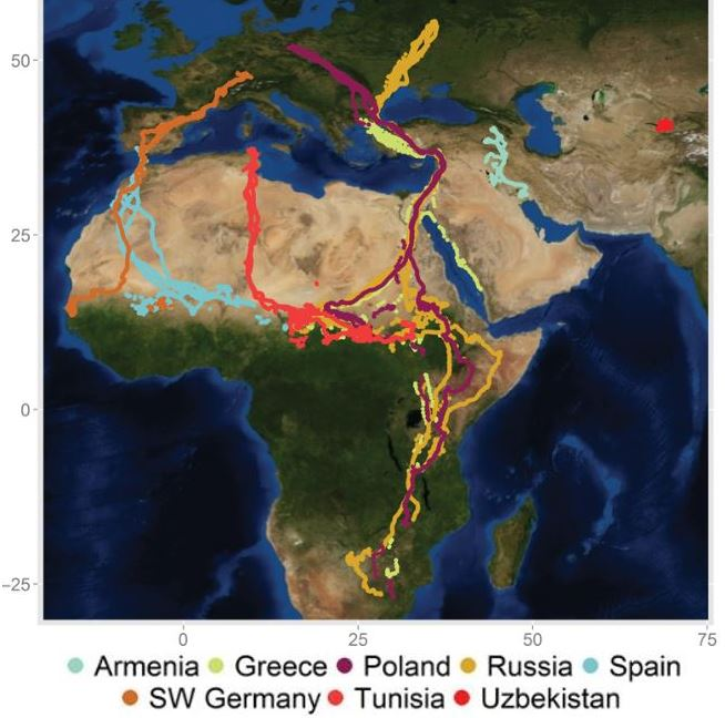 Migration routes of young white storks in latest study