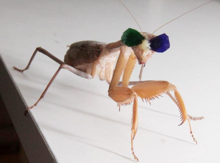 Praying mantis uses 3D vision to hunt
