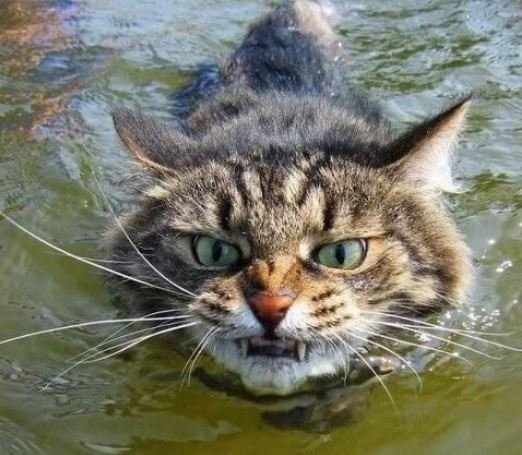 Mega scottish wildcat survey aims to prevent extinction for Cats go fishing
