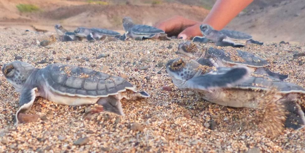 Turtles in Ascension Island which now has a marine reserve