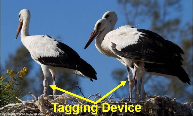 Young White Storks with tagging device fitted