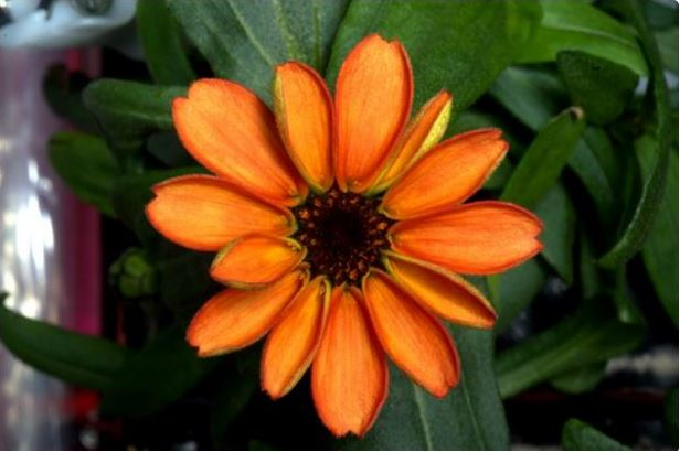Zinnia flower blooms in ISS