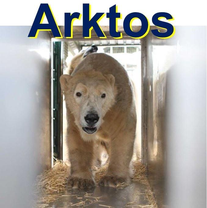 Arktos the male polar bear