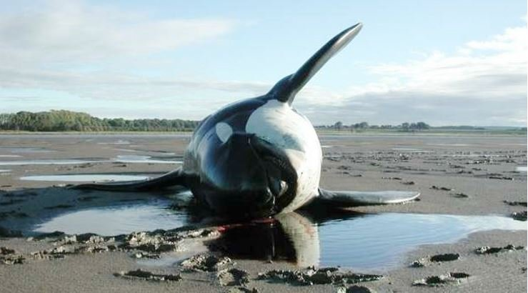 Dead Killer whale on beach