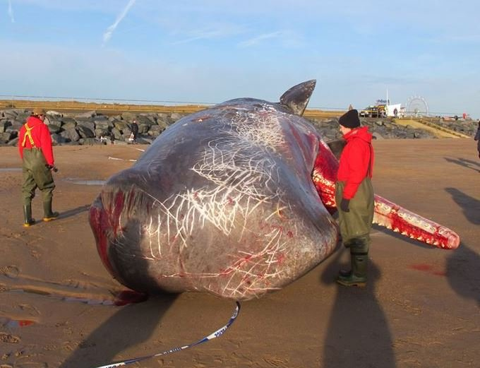 Dead sperm whale in Lincolnshire