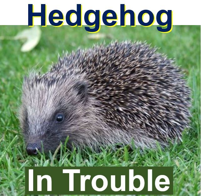 Hedgehog population declining alarmingly
