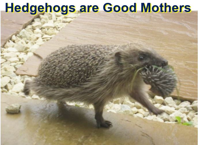 Hedgehogs are good mothers