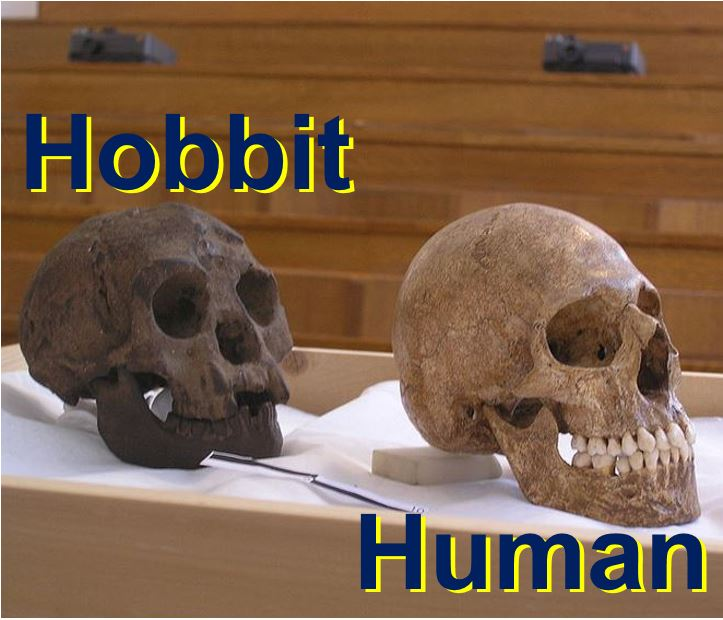 Hobbit skull compared with that of a human