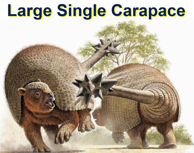 Large single carapace
