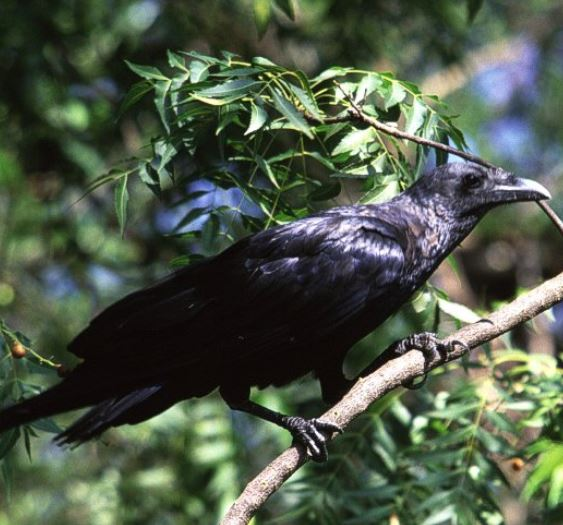 Raven behavior changes