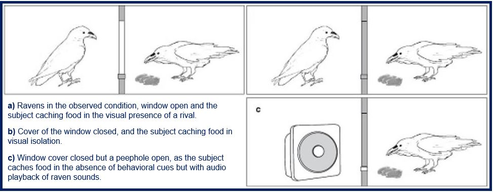 Ravens behaved differently if they thought being watched was a possibility