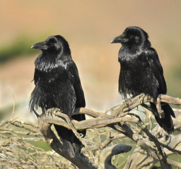 Ravens pair up for life