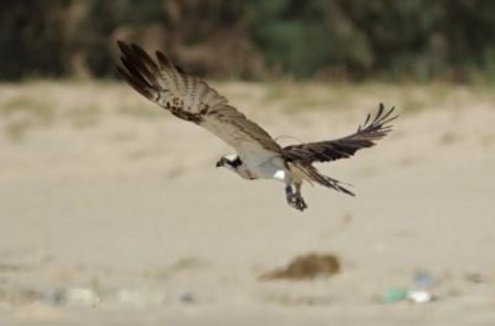Scottish Osprey spotted on Senegal beach