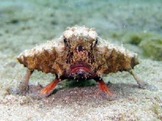 Shortnose Batfish not an alien mutant freak fish