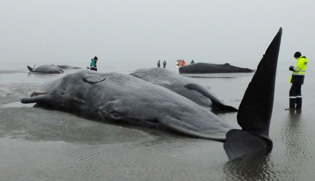 Sperm whale deaths in Germany