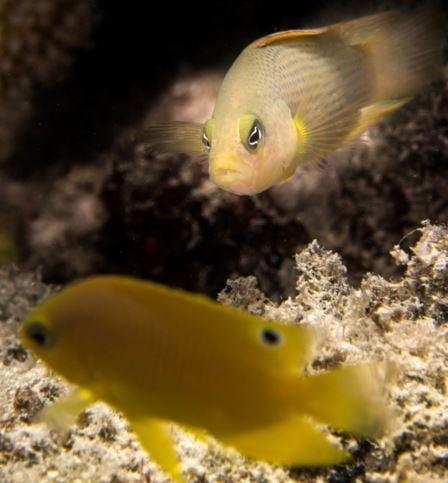 Dusky Dottyback and Ambon Damselfish