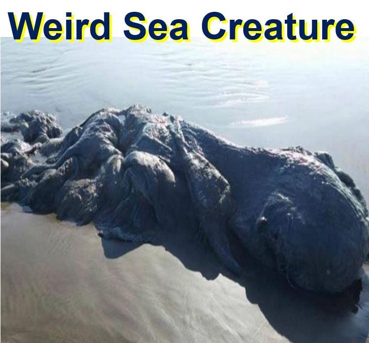 Alien like marine creature in Acapulco beach