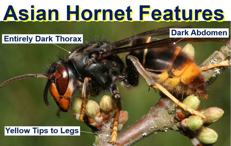 Asian Hornet distinguished features