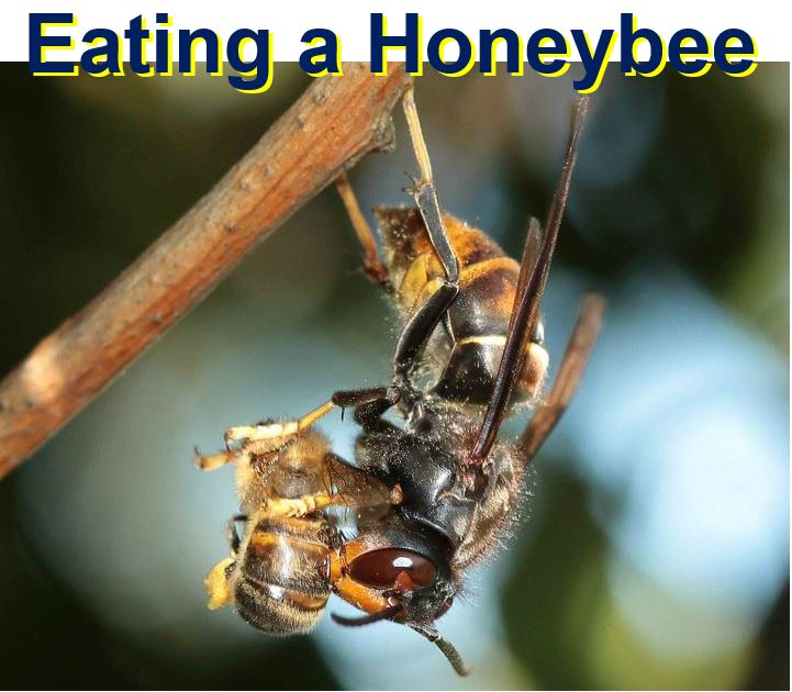 Asian hornet eating a honeybee