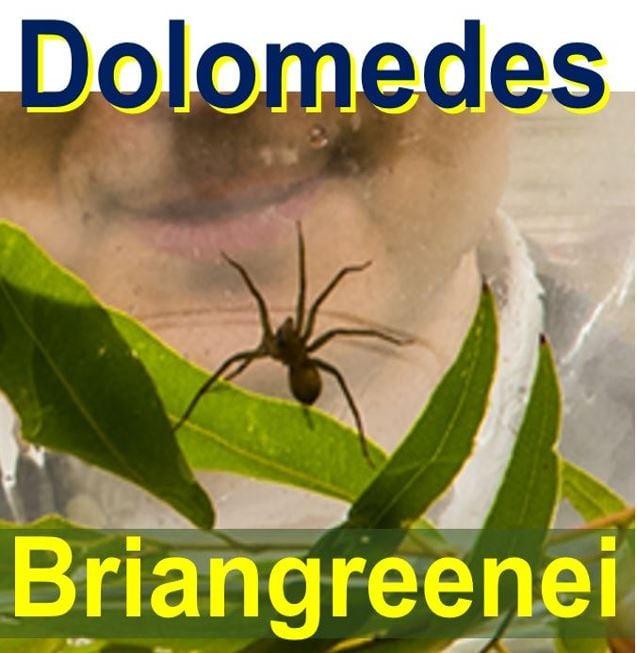 Australian spider Dolomedes briangreenei
