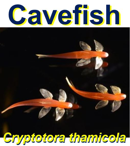 Blind Cavefish that can climb steep slopes