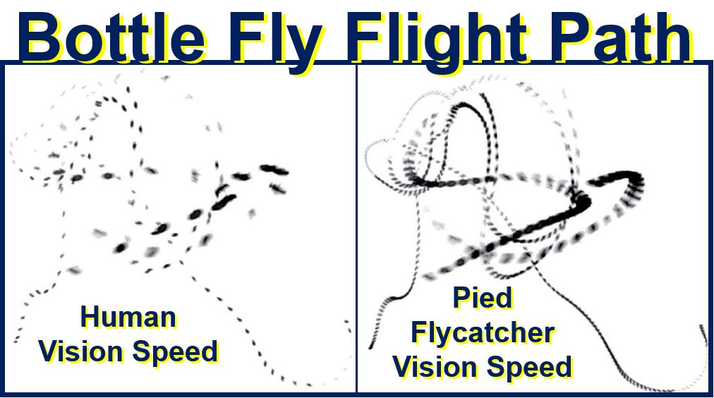 Bottle fly flight path slow and fast vision speed