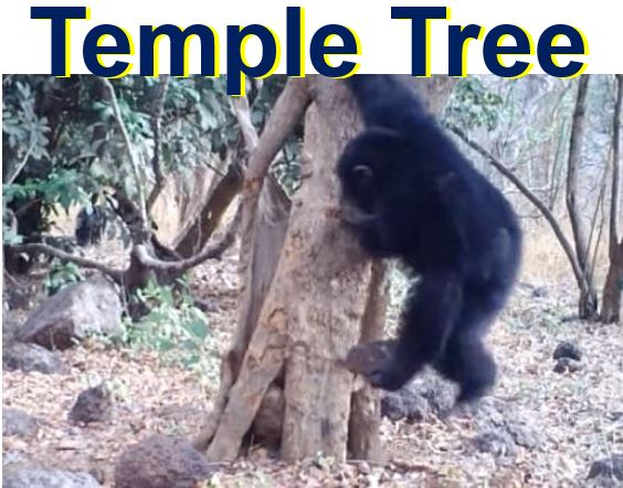 Chimpanzee at temple tree