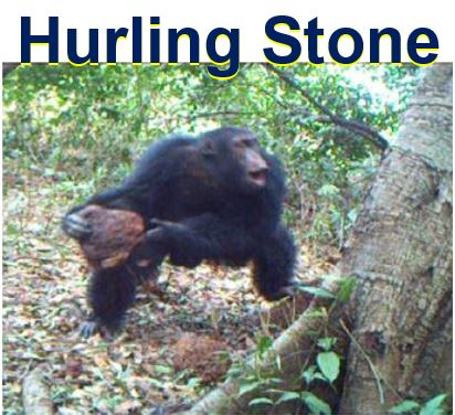 Chimpanzee hurling stone at tree