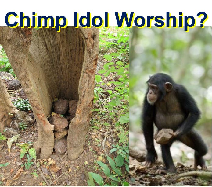 Chimpanzee idol worship
