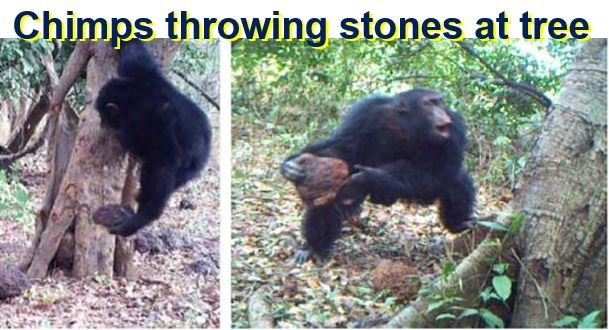 Chimps throwing stones at tree