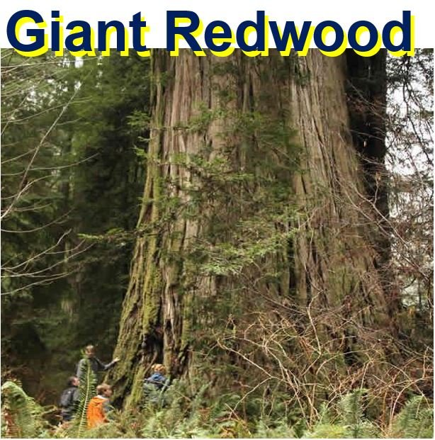 Giant Redwood huge tree