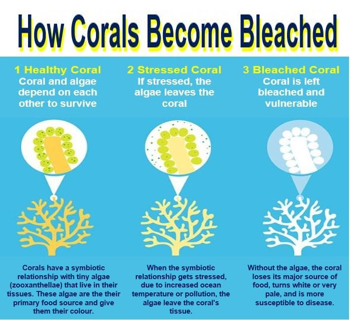 How corals become bleached