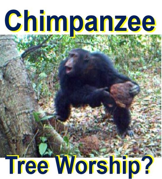 Looks like chimpanzee tree worship