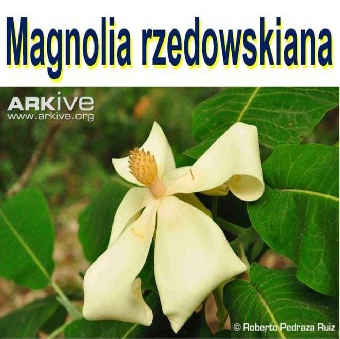 Magnolia rzedowskiana
