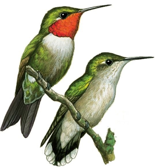 how to tell if a hummingbird is male or female
