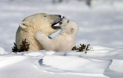 Mother and cub polar bears