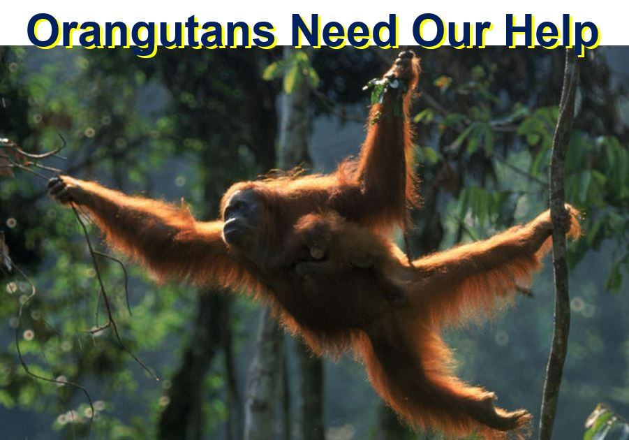 Orangutans need our help