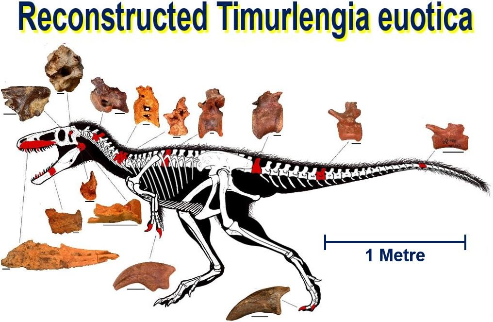 Reconstructed skeleton of Timurlengia euotica with discovered fossilized bones