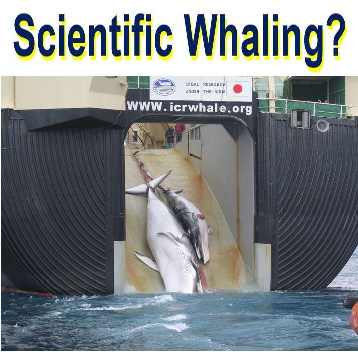 Scientific Whaline by Japan