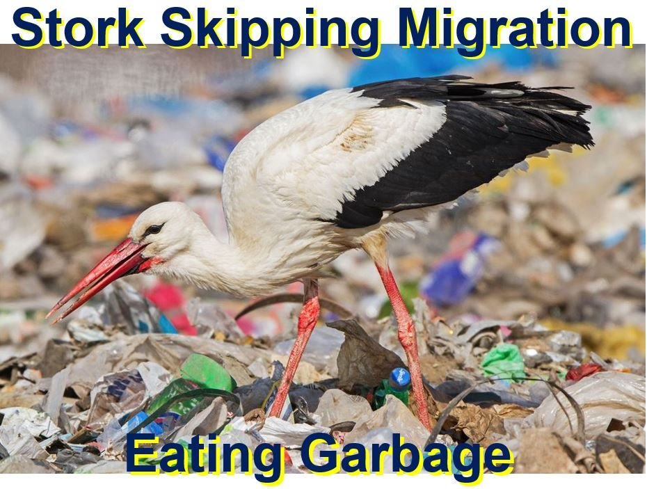 Stork eating garbage skipping migration