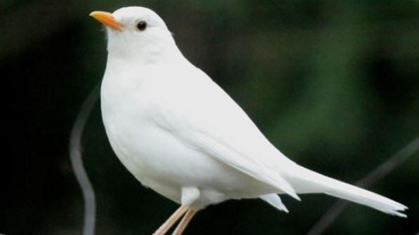 Albino Male Blackbird