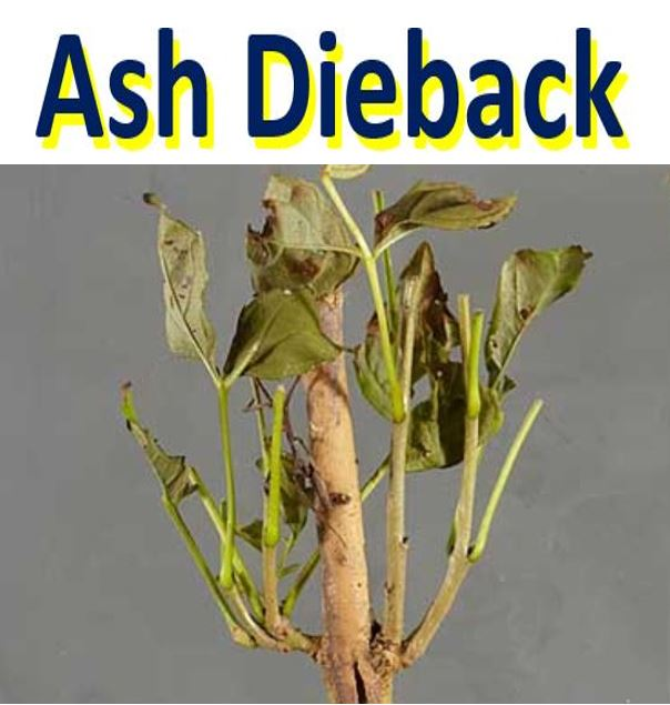 Ash Tree Fights Back Against Ash Dieback Disease First