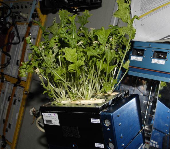 Lettuce in space