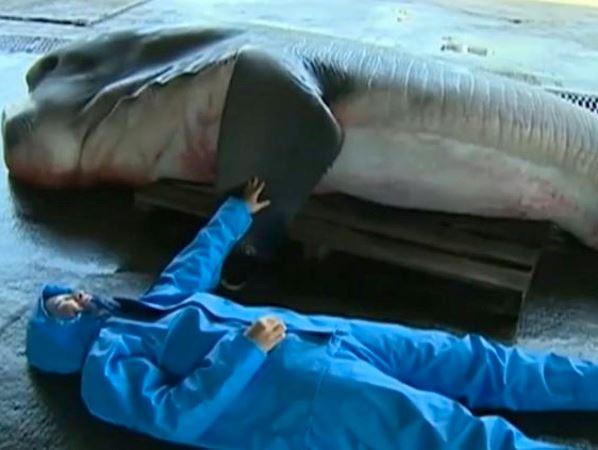 Megamouth sold to fishmonger