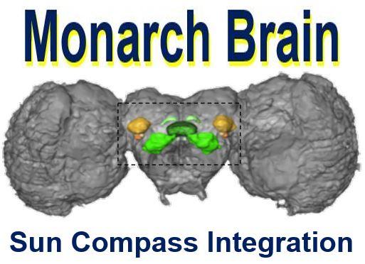 Monarch butterfly brain